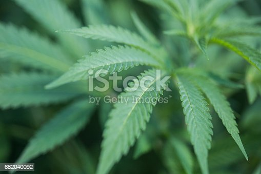 istock Close-up of a marijuana plant, also called pot or cannabis among other names, which is used by some people with chronic illnesses as an alternative medicine. 682040092