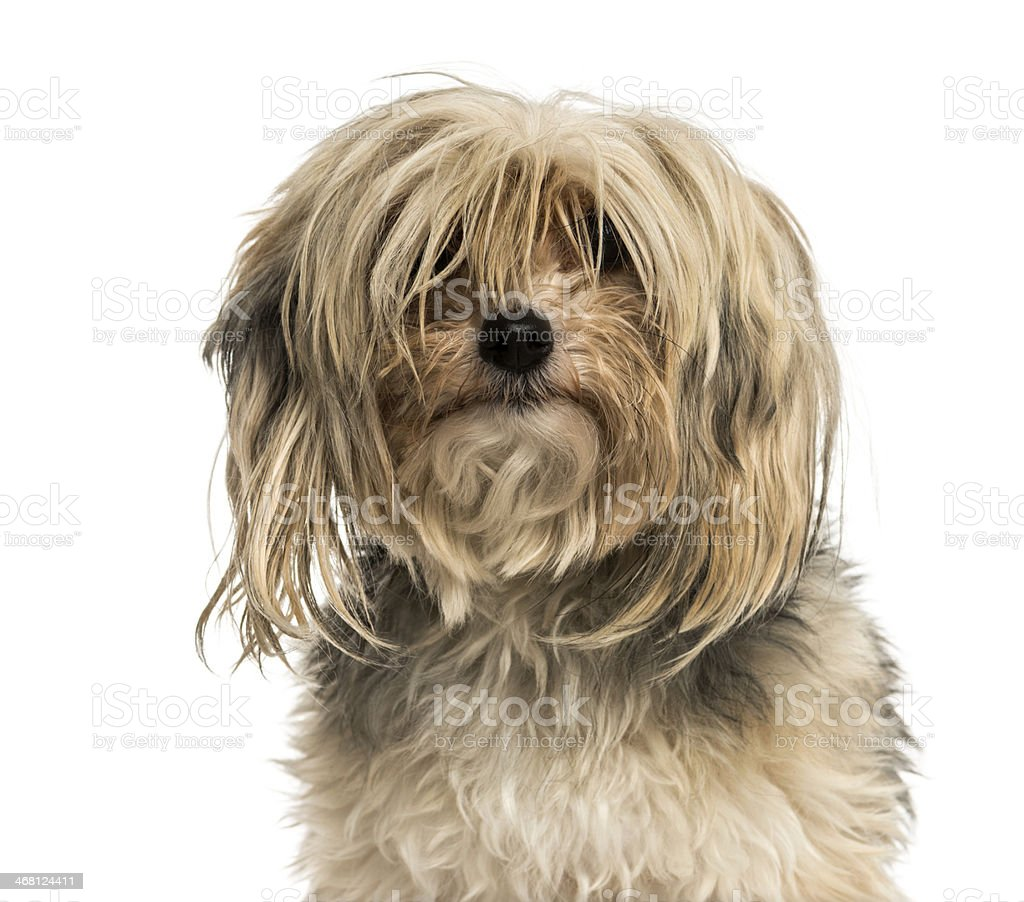 Close-up of a messy Yorkshire terrier, isolated on white stock photo