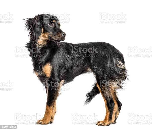 Closeup of a mixedbreed dog looking backwards isolated on white picture id859710842?b=1&k=6&m=859710842&s=612x612&h=8cvkdq brnfra 7qo tvgdcmiya30hlygbgkkxsiql8=