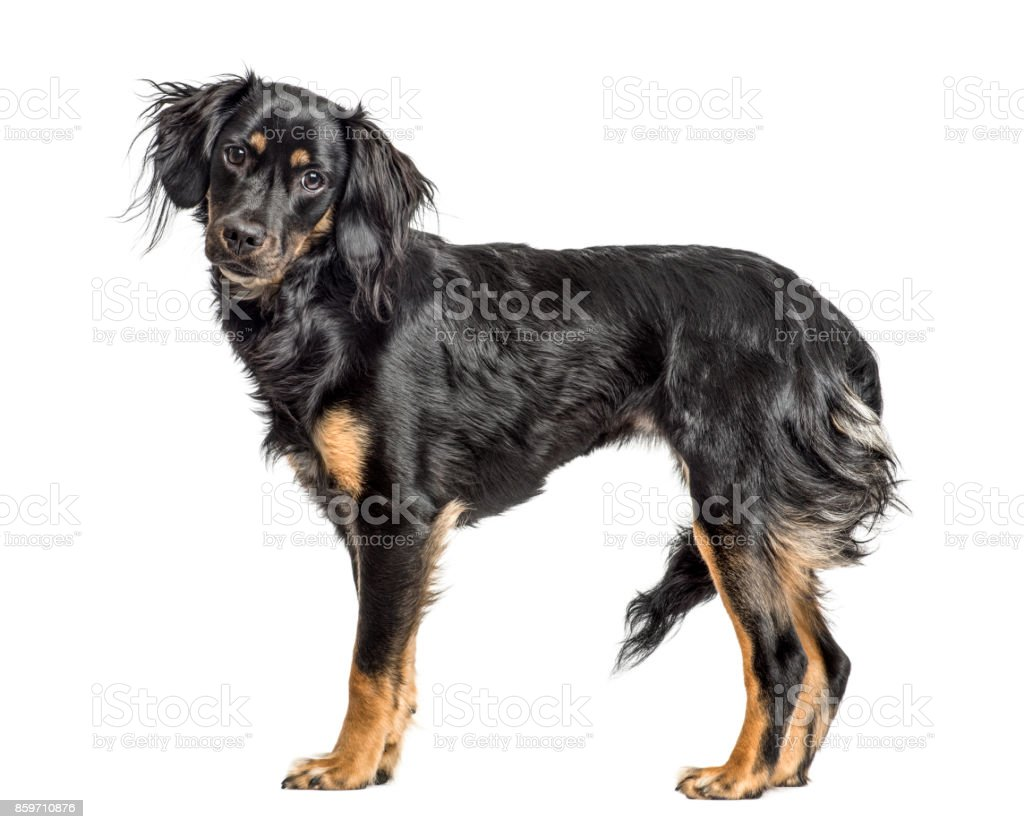 Close-up of a mixed-breed standing, isolated on white stock photo