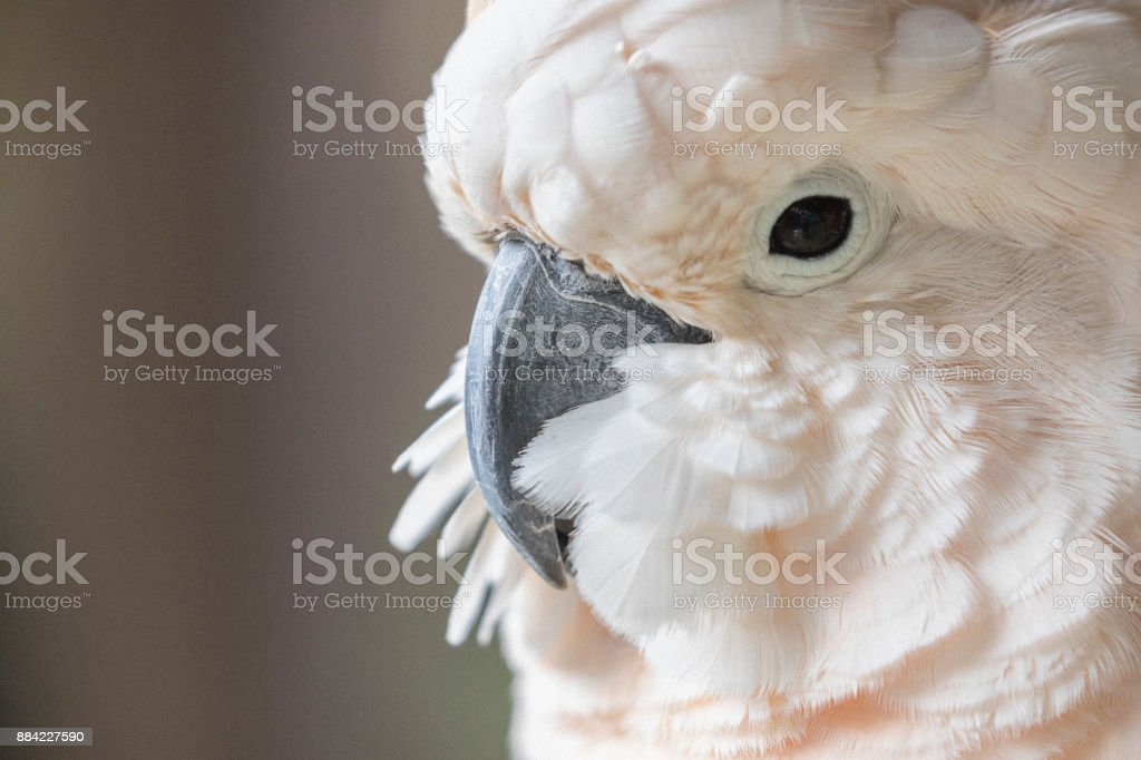 Close-up of a Moluccan cockatoo, as seen in the Bahamas. stock photo