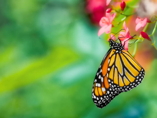 close-up of a monarch butterfly, danaus plexippus, upside-down pollinating a pink flower against a soft focus background - butterfly stock pictures, royalty-free photos & images