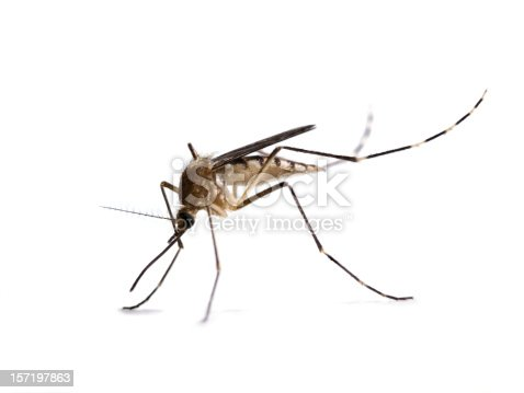 An Aedes canadensis mosquito isolated on white background.  Aedes canadensis are a common pest mosquito and may be possible West Nile Vectors.
