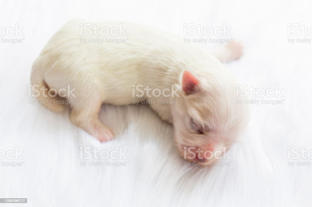Closeup Of A Newborn Maltese Dog Beautiful Dog Color White 4 Day Old Puppy On Furry White Carpets Baby Dog On Furry Carpet Maltese Puppy Sleeping On A Carpet Of Fleece Selective