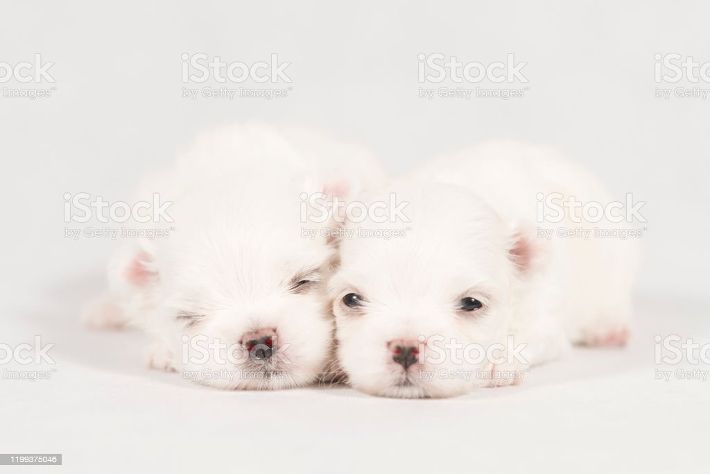 Closeup Of A Newborn Maltese Dog Beautiful Dog Color White Baby Dog On Furry Carpet Maltese Puppy Sleeping On A Carpet Selective Focus Stock Photo Download Image Now Istock