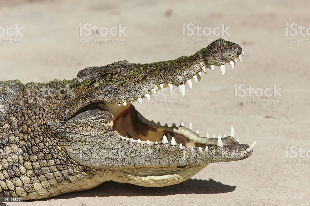 Close-up of a Nile crocodile with open jaws stock photo