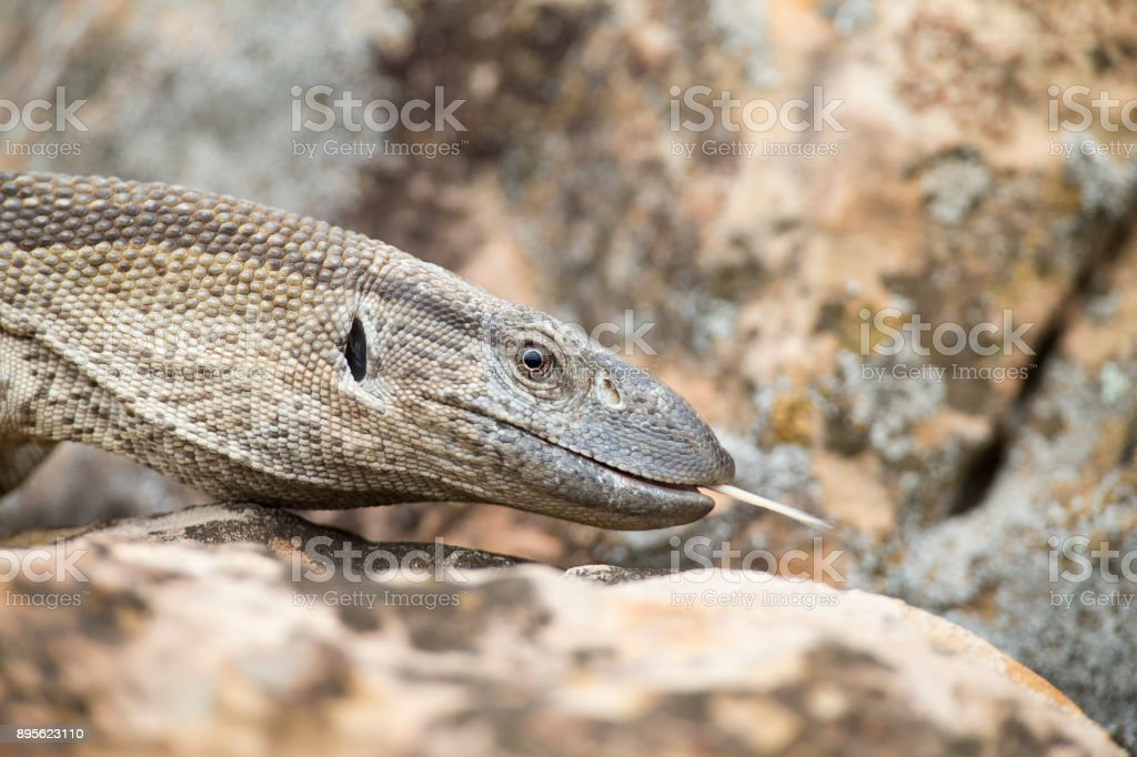Close-up of a Nile Monitor head walking over brown rocks stock photo