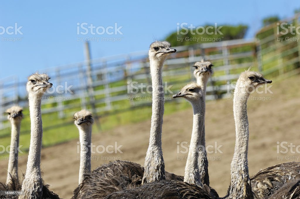 Close-up of a Ostrich Flock royalty-free stock photo