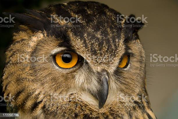 Closeup of a owls face on brown background picture id172202796?b=1&k=6&m=172202796&s=612x612&h=j2qf q98vgkzzwrxjgcj7lyz3f86f5be5dcxfoisfmu=