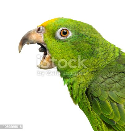 Close-up of a Panama Yellow-headed Amazon (5 months old) with its beak open,  isolated on white