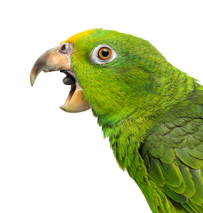 istock Close-up of a Panama Yellow-headed Amazon (5 months old) with its beak open,  isolated on white 1069565616