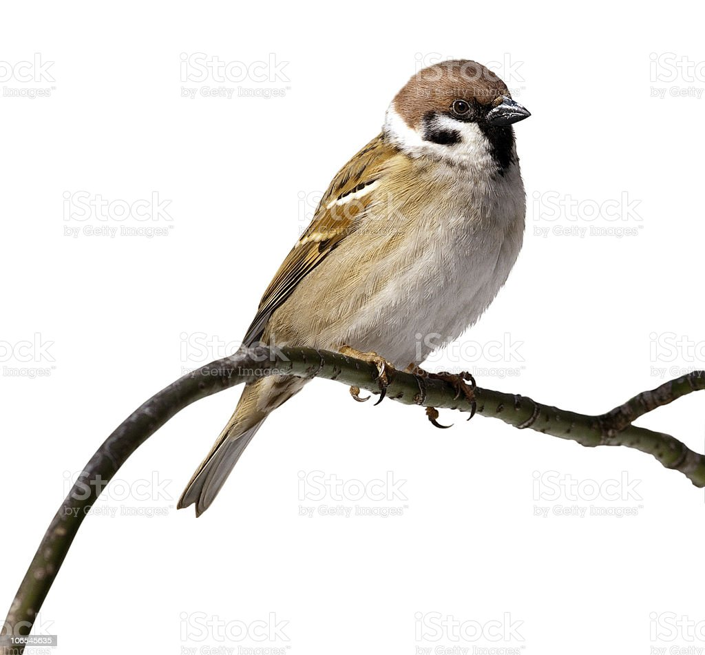 Close-up of a passer Montana tree sparrow stock photo