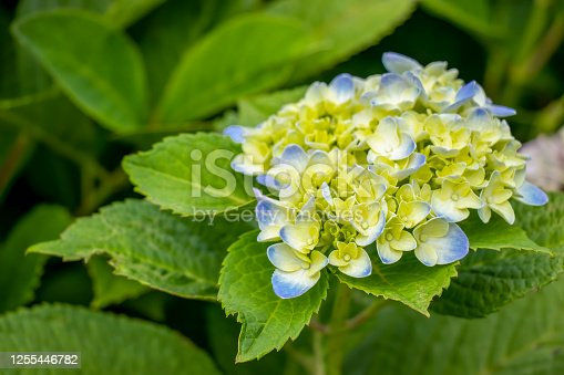 Close-up of a mophead hydrangea blossom in soft pastel blue and white in the garden with background of vibrant green foliage.