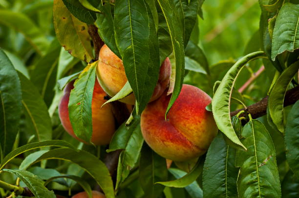 Closeup of a peach tree or Prunus persica with ripe fruit advisable as a background Closeup of a peach tree or Prunus persica with ripe fruit advisable as a background, Zavet, Bulgaria advisable stock pictures, royalty-free photos & images