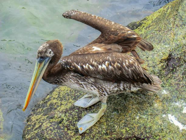 Nahaufnahme eines Pelikans im Hafen von San Antonio in Chile – Foto