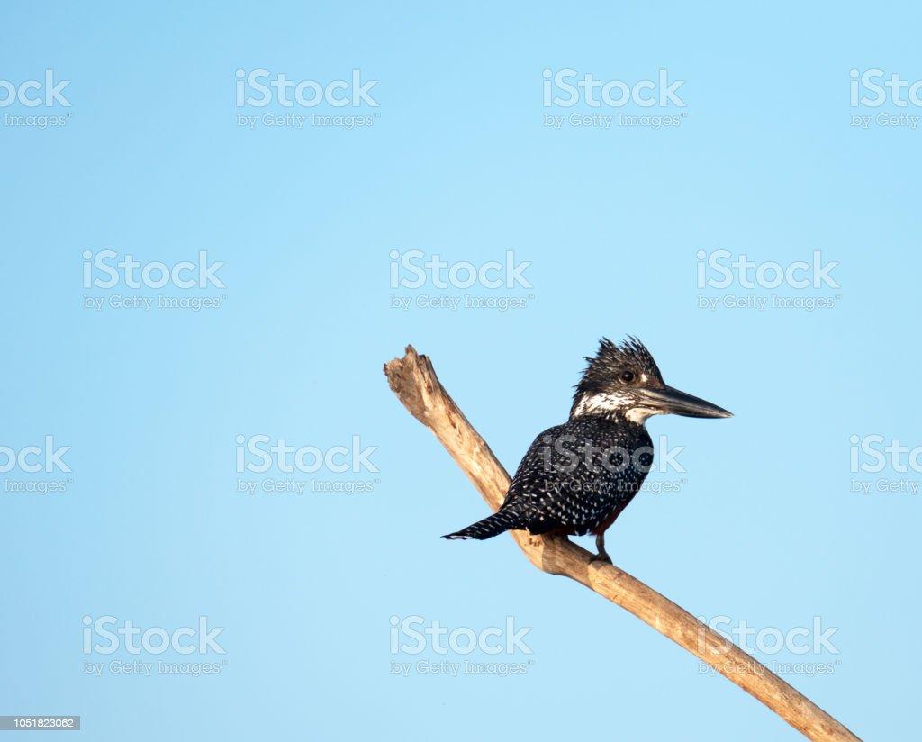 Gros plan d'un roi pied fisher (Ceryle rudis) - Photo