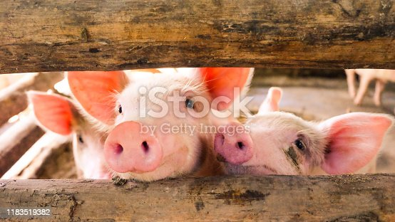 Close-up of a pig on a farm, many pigs are playing in the evening.