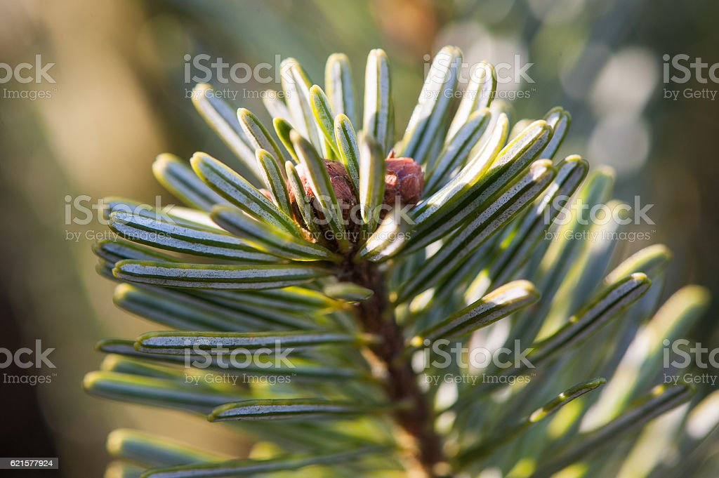 Closeup of a pine branch photo libre de droits