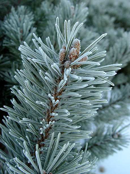Close-up of a pine tree branch covered with frost stock photo