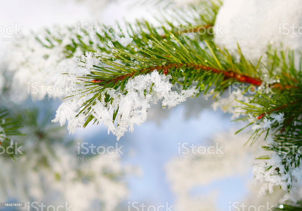 Close-up of a pine tree covered with snow in the winter royalty-free stock photo