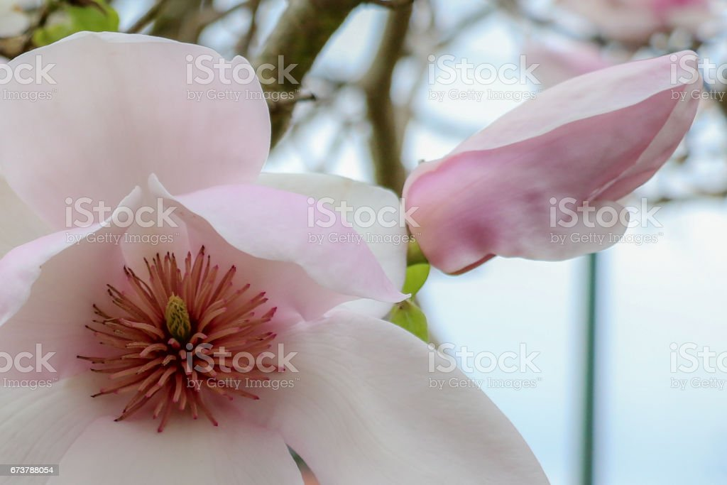 Pembe ve beyaz daire Manolya closeup royalty-free stock photo