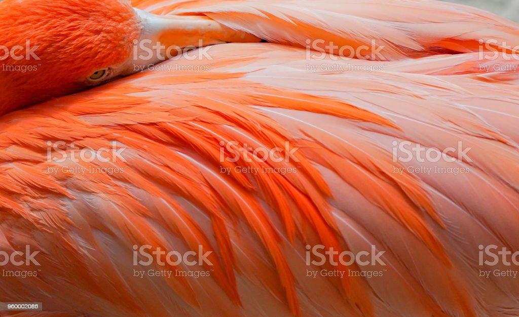 Close-up of a Pink Flamingo Peeking Over its Feathers stock photo