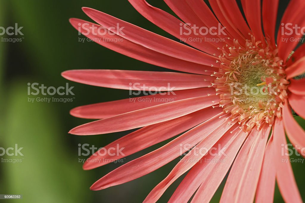 Closeup of a pink gerbera flower with green background  stock photo