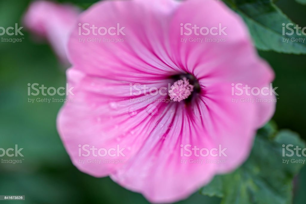 closeup of a pink hibiscus flower in a garden stock photo