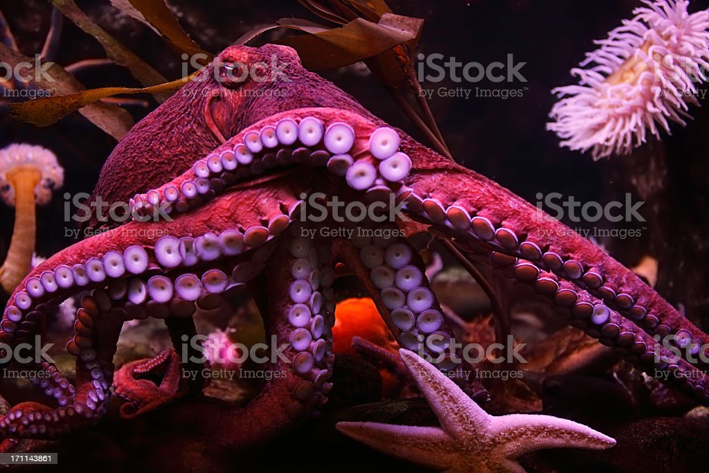 Close-up of a pink octopus in the sea with a starfish stock photo