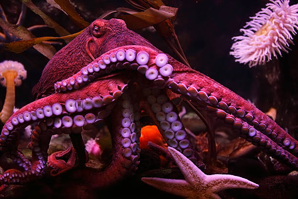 close-up of a pink octopus in the sea with a starfish - octopus stock pictures, royalty-free photos & images