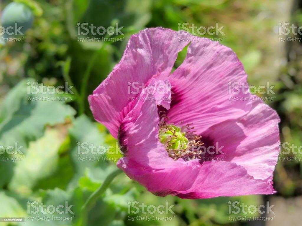 Closeup Of A Pink Opium Poppy Flower Papaver Somniferum Stock Photo