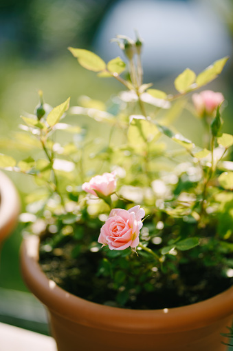 Close-up of a pink rose in a brown pot. High quality photo