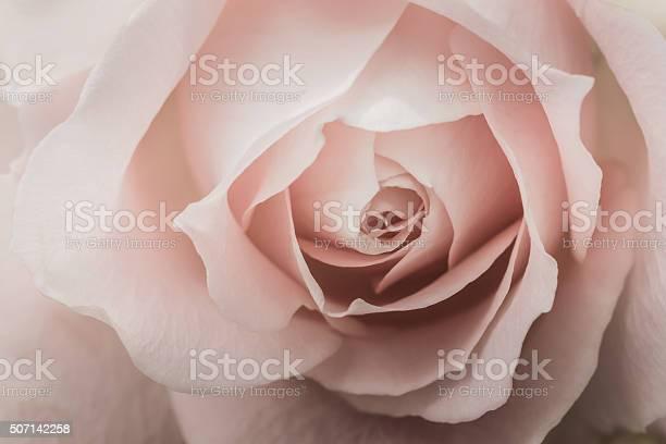 Closeup of a pink rose picture id507142258?b=1&k=6&m=507142258&s=612x612&h=zhbf4wlyqwqocepmwetdl0g6pl6njtjhqeghcx5iw2u=