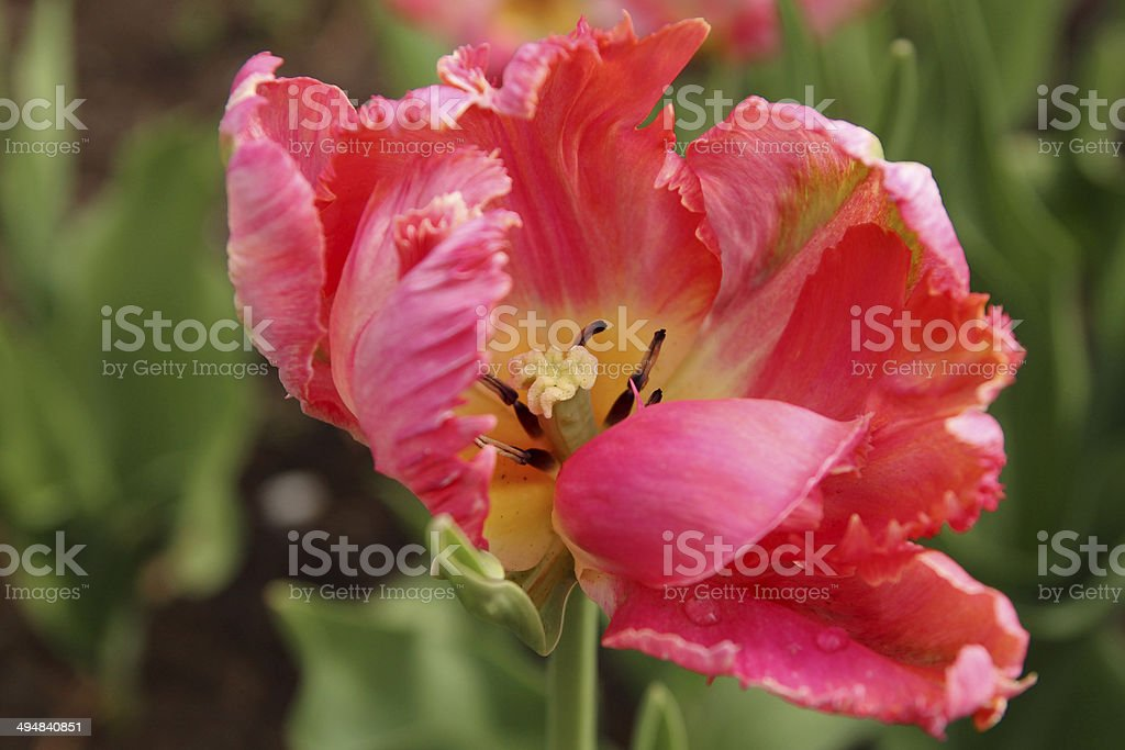 Closeup of a pink tulip, Apricot Parrot variety stock photo
