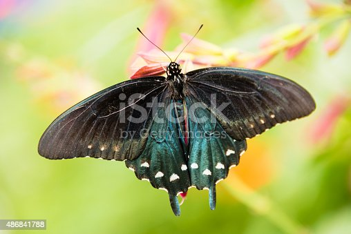 Close-up macro view of a pipe vine swallowtail butterfly (Battus philenor) sitting on pink flowers as seen from above.