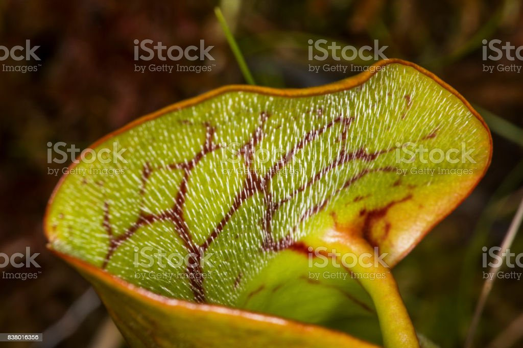 Closeup of a pitcher plant leaf in New Hampshire. stock photo