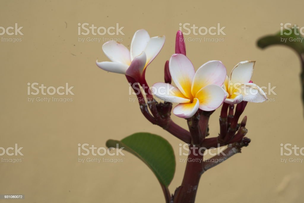 close-up of a plumeria flower stock photo