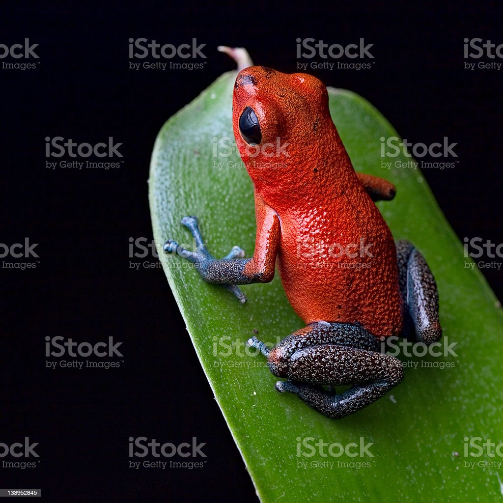 Close-up of a poisonous red dart frog on a green leaf stock photo
