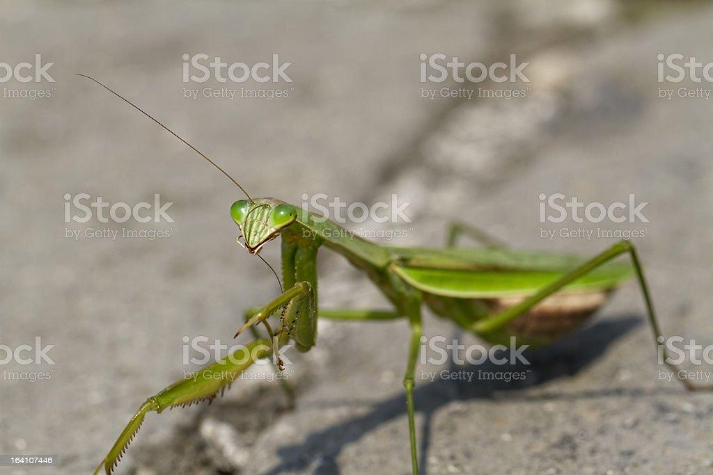 Close-Up of a Preying Mantis Preening Itself stock photo