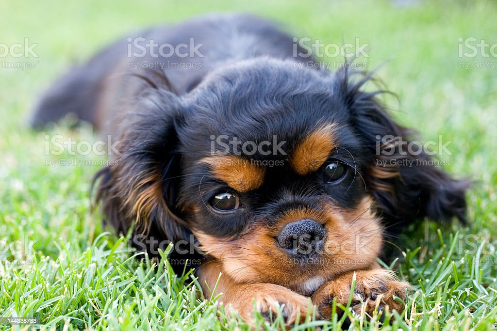 Close-up of a puppy lying in the grass stock photo