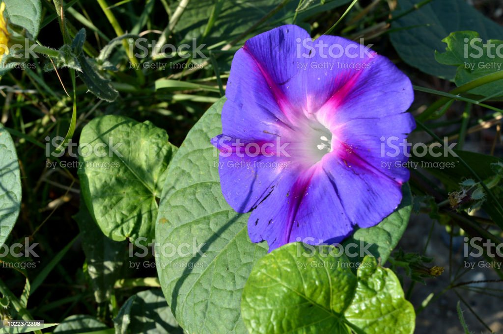Close-up de uma flor roxa ipomeia, Ipomoea Purpurea, natureza, Macro - foto de acervo
