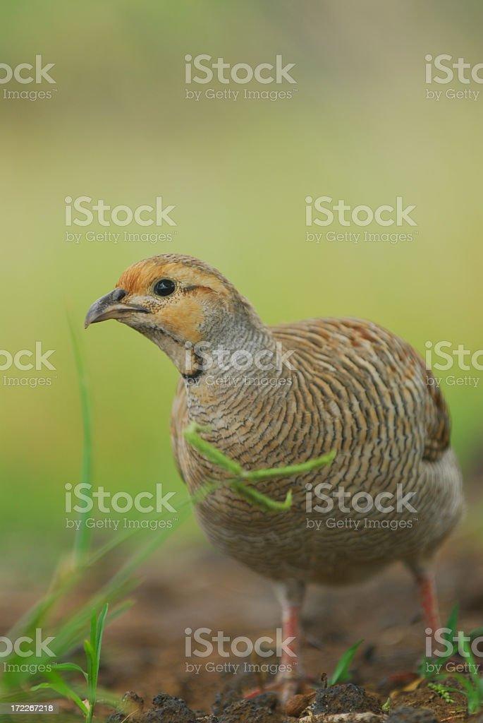 Closeup of a quail amidst the grass stock photo