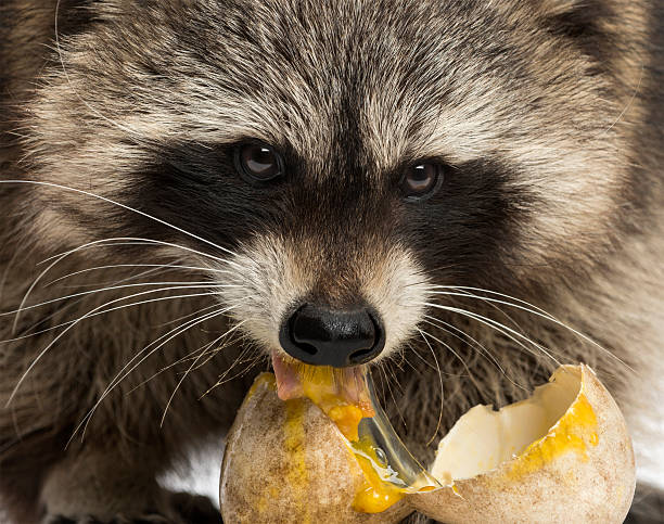 Image result for raccoons eating eggs