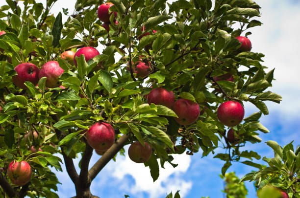 Closeup of a red apples on a tree at orchard stock photo