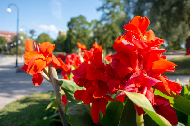 A closeup of a red blossoming flower in a city park on a sunny summer day. stock photo