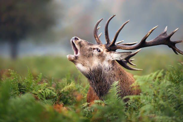 Close-up of a Red deer roaring during the rut in autumn Close-up of a Red deer roaring during the rut in autumn, UK. red deer animal stock pictures, royalty-free photos & images