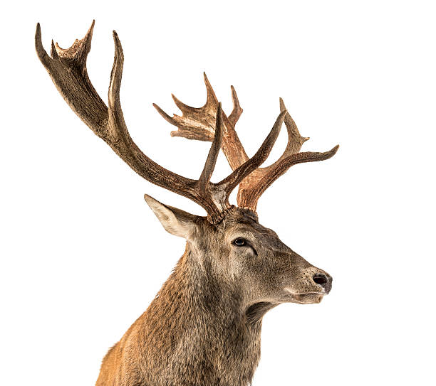 close-up of a red deer stag - antlers stock photos and pictures