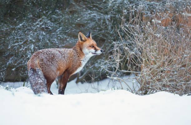 Close-up de uma raposa vermelha de pé na neve - foto de acervo