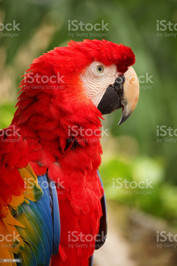 Closeup of a Red Macaw, Cozumel, Mexico. royalty-free stock photo