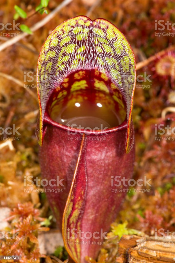 Closeup of a red pitcher plant leaf in New Hampshire. stock photo